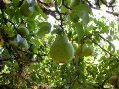 Bartlett pear.