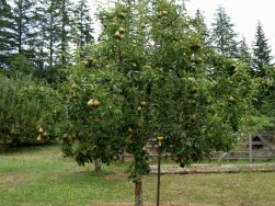 One of the younger Bartlett pears.